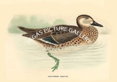 Fine art print of the ANAS FORMOSA - Baikal Teal by Philipp Franz Balthasar von Siebold (1850)